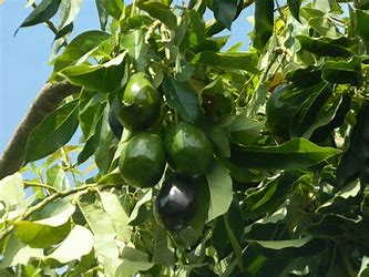 Our range of elevated work platforms is ideal for picking and pruning various trees such as avocados.