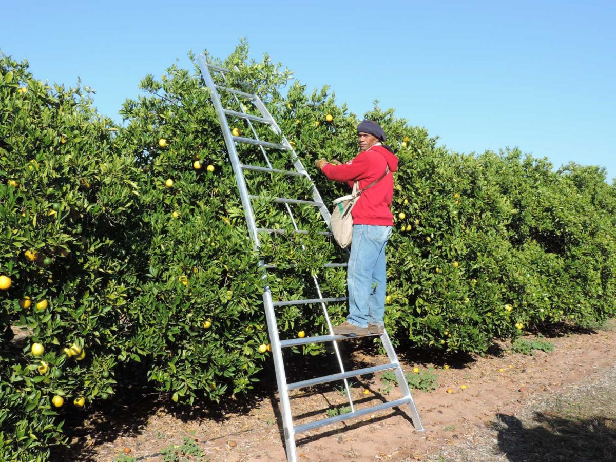 The curved design of our citrus bow picking ladders allows pickers to reach the highest peak possible for maximum efficiency.